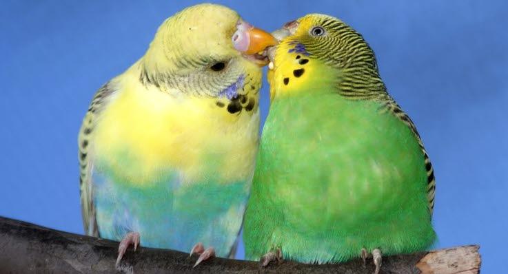 Kanarie fugle eller undulater
